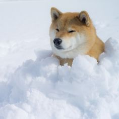 Shiba Inu Dog in the Snow Shiba Inu, Japanese Akita, Japanese Dogs, Pet Dogs, Dog Cat, Animals And Pets, Cute Animals, Snow Dogs, Cute Friends