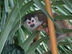 Het wonder van Miranda: ik ben nog niet zolang geleden teruggekomen uit Costa Rica en wat heb ik daar een wonderschone natuur gezien zeg. Prachtig. Hieronder een van de wonderschone foto's, geweldig toch dit aapje!