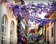Wisteria- Village Street, Frieburg, Germany