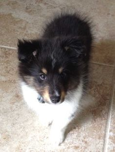 Tri-color Shetland Sheepdog puppy. Kind o f looks like my dog when she was a puppy(: