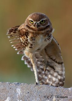 c... Burrowing Owl by K.J. Thurgood - Artist | Photographer | Sculptor ""