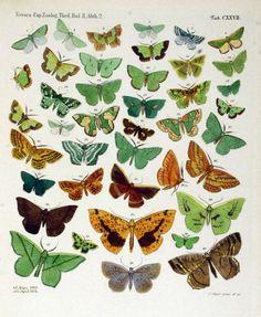 Genus: Eumelea (butterflies) 1864.