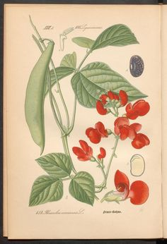 Prof. Dr. Thomé's Flora von Deutschland, Österreich und der Schweiz in Wort und Bild. Scarlet runner bean. Rar 3635