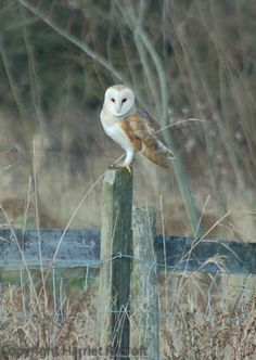Harriet Rycroft (HarrietRycroft) on Twitter. Barn owl at Whichford Pottery