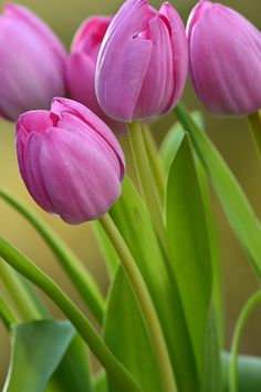 Pretty pink tulip flowers