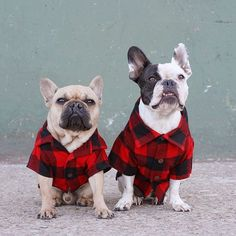 Black and red buffalo print button up for dogs. #holidayfashion Twin Outfits, Matching Family Outfits, Buffalo Print, Family Humor, Holiday Fashion, French Bulldog, Instagram Dog, Photoshoot, Print Button