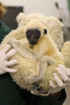 ZooBorns: Gibbon