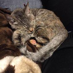 七夕生まれの我が家のれんげちゃん  #七ヶ月 #猫 #cat  #キジトラlengepuku2016/02/24 02:45:14