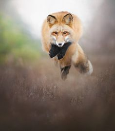The Beauty of Wildlife: Red Fox by Alicja Zmysłowska Wild Life, Beautiful Creatures, Animals Beautiful, Animals And Pets, Cute Animals, Wild Animals, Baby Animals, Malamute, Wolf Hybrid