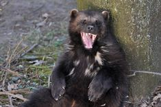 Wolverine (Gulo gulo). Netherlands. Photo by Truus & Zoo (at https://www.flickr.com/photos/truus_en_zoo/7010373869/).