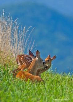 Fawns so sweet & pure, with their quiet & elusive nature, depend strongly on their mothers to grow & thrive in their natural habitats!