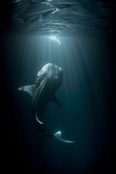 Thomas Peschak. In the dead of night, the young whale shark was feeding close to the surface. The challenge for Tom was to capture an image of it. The whale sharks of this area in the Gulf of Tadjoura, Djibouti, eastern Africa, feed at night on zooplankton attracted to the lights of small fishing boats.
