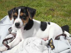 Scilla as a puppy! Dansk svensk gårdshund Danish Swedish farmdog