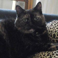 Life in luxury. Tiara is enjoying her new leopard pillow.  #lovecats #lovecatsinstagram #cats #catlovers #catsofinstagram