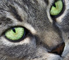 Gray tabby cat with mysterious green eyes Crazy Cat Lady, Crazy Cats, Neko, I Love Cats, Cute Cats, Grey Tabby Cats, Video Chat, Cats And Kittens, Kitty Cats