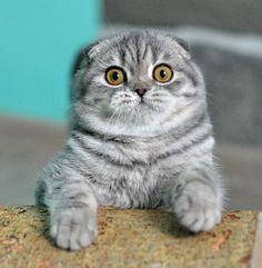 Lynzkatz Cattery American Shorthairs | Purebred American Shorthair Cats - GC, GP Goddess Mio Mio of Lynzkatz