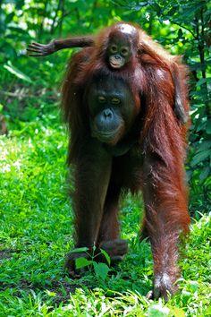 Female Orangutan with Infant