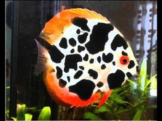 Reproduction Discus Red Cover & Pigeon Blood chez  Discus Egg Fry Wriggler - YouTube Diskus Aquarium, Tropical Fish Aquarium, Tropical Freshwater Fish, Freshwater Aquarium Fish, Beautiful Sea Creatures, Animals Beautiful, Oscar Fish, Cute Small Animals, Pet Fish