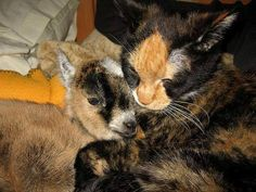 CAT BECOMES MOTHER TO ORPHAN BABY GOAT  A tortie cat named Latte became the surrogate mother to an orphan baby goat and showered her with love, care and lots of snuggles.