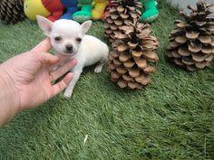 Chihuahua (chiguagua) mini - Criadero Cantillana