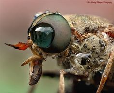 Female HorseFly by Noi korukay Marquez, via 500px