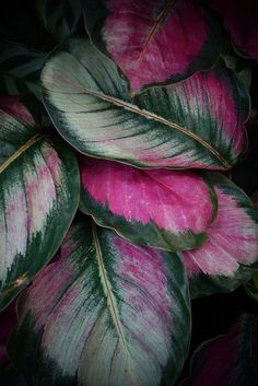 Calathea (pink tricolor) | by KarlGercens