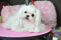 Maltese Grooming:  Tweety Tear Stain Cleaning Top Knot Tutorial 'Groom a...