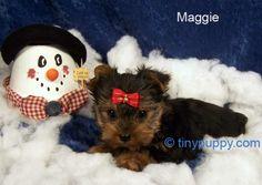 Cute Yorkie Tiny Puppy   http://www.tinypuppy.com