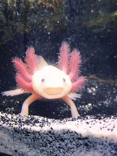 Cute Baby Animals, Animals And Pets, Funny Animals, Cute Reptiles, Reptiles And Amphibians, Axolotl Tank, Paludarium, Creature Design, Exotic Pets