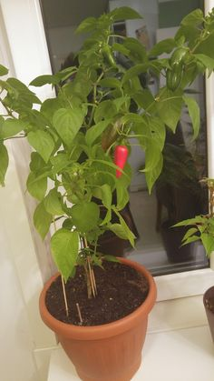 first time growing peppers tured out preatty good considering its been a cold summer in - Growing Avocado Trees