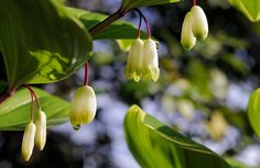 See Solomon's Seal, wildflower in the spring in the NC Mountains, in Nantahala National Forest.