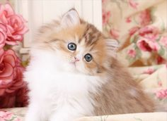 Golden & White Persian KittensUltra Rare Persian Kittens For Sale ...