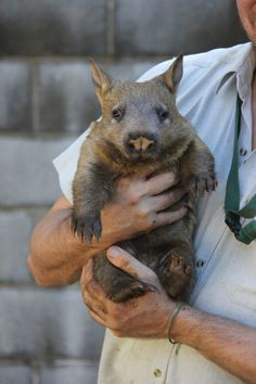Meet Sydney, the second Southern Hairy-nosed Wombat joey born at the zoo in three years. | These Adorable Pictures Will Make You Want To Adopt A Baby Wombat