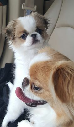 Bella and Chloe (puppy) Walker's Chins Chin Chin, Japanese Chin, Pekingese, Shih Tzu, Fashion Pictures, Simply Beautiful, Sally, Best Dogs, Cute Puppies
