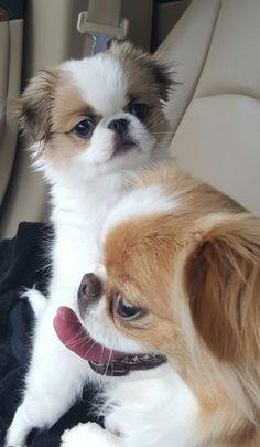 Bella and Chloe (puppy) Walker's Chins Chin Chin, Japanese Chin, Pekingese, Fashion Pics, Shih Tzu, Simply Beautiful, Sally, Best Dogs, Cute Puppies