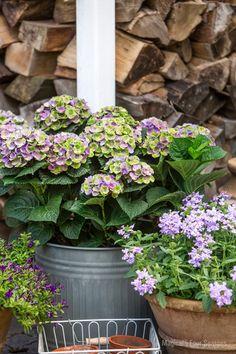 Paarse hortensia / Purple hydrangea in a pot - tuinieren.nl