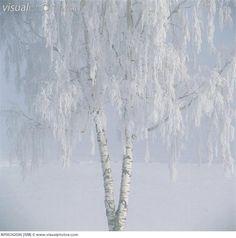 Snow covered birch tree