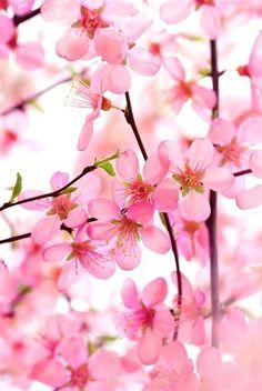 Pink Dogwood Blooms Beautiful