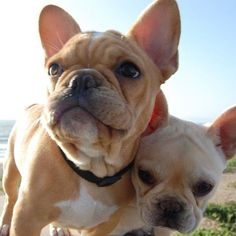 Temperament of lovely French bulldog... click on pic to see more