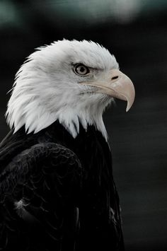 ☀ North American Bald Eagle  by --CWH--