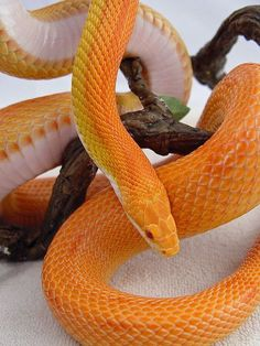 CORN SNAKE (Elaphe guttata), or Red Rat Snake:
