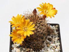 Sulcorebutia arenacea var. kamiensis L 974