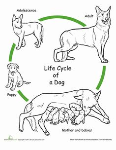 First grade science worksheets: color the life cycle: dog. Animal Worksheets, Science Worksheets, Science Activities, Coloring Worksheets, Free Worksheets, Sequencing Activities, Life Science, Science And Nature, Human Life Cycle