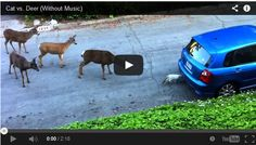 Some of us get startled when a black cat crosses our path. This is all a product of superstitious myths we are faced with growing up. But a white cat? Apparently, in the deer community there are either some myths about white cats or the deer in this video have never seen one before.