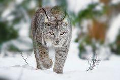 Lynx by Naturfotografie - Stefan Betz