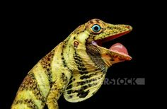 Female Banded Tree-Anole lizard (Anolis transversalis) characterized by blue eyes, Iguana family (Iguanidae), Amazon rainforest, Yasuni National Park, Ecuador.
