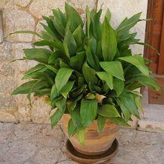 Cast Iron Plant, Green Plants, It Cast, Flowers, Spiritual, Interior, Plants, Gardens, Indoor