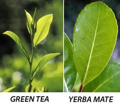 Yerba Mate Green Tea - It is as easy to learn how to brew yerba mate as any other type of tea and just as easy to develop a love for the taste of this powerful beverage. Find a recipes at OrganicMate.net