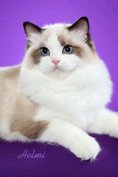 Ragdoll (seal bi-color)