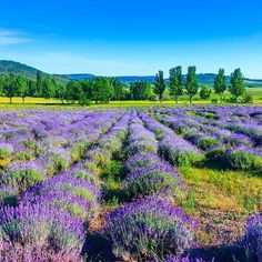 Find Lavender Field Summer Tihanyhungary stock images in HD and millions of other royalty-free stock photos, illustrations and vectors in the Shutterstock collection. Thousands of new, high-quality pictures added every day. Lavender Roses, Lavender Fields, Purple Roses, Puzzle Of The Day, Animal Tattoos, Ohana, Outdoor Travel, Architecture Art, Wonders Of The World